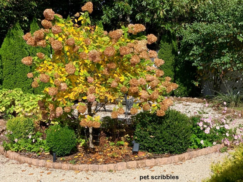Fall color of Limelight Hydrangea Tree