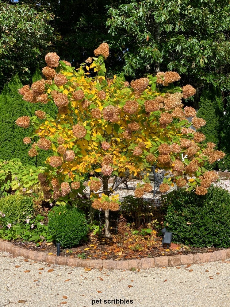 Limelight Hydrangea Tree in Fall
