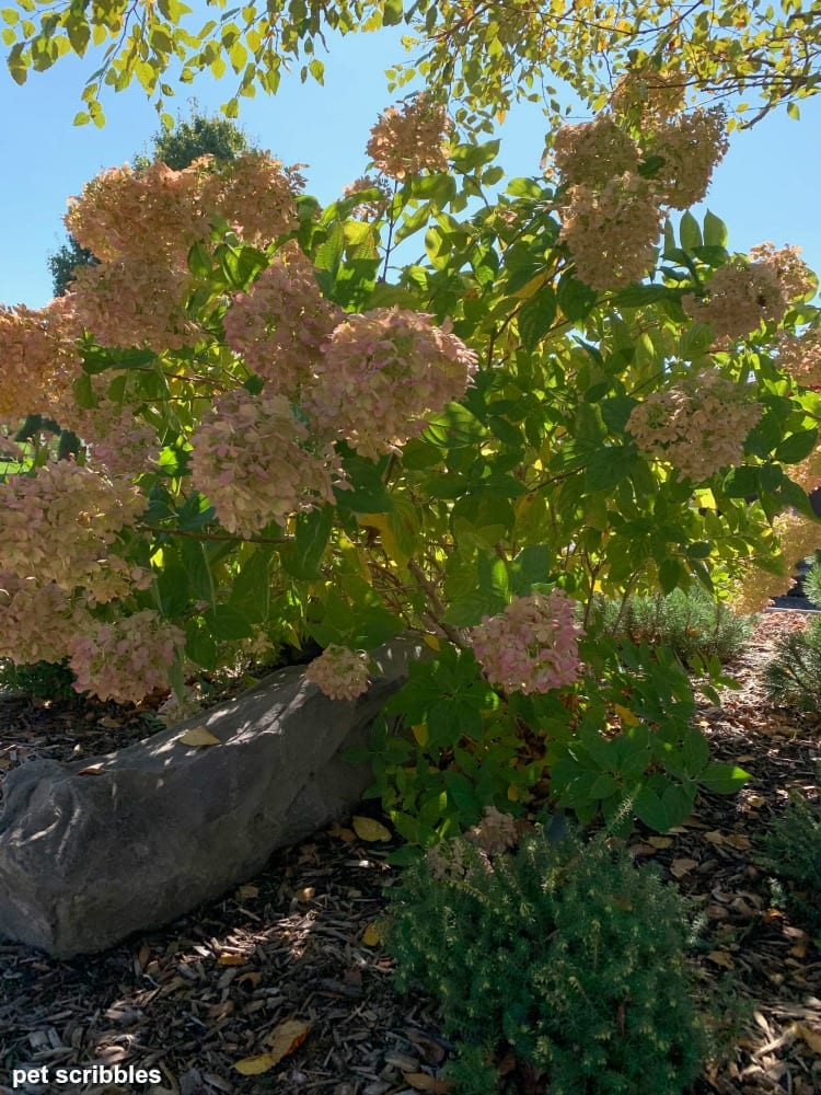 Little Lime Hydrangea and Heather in Fall