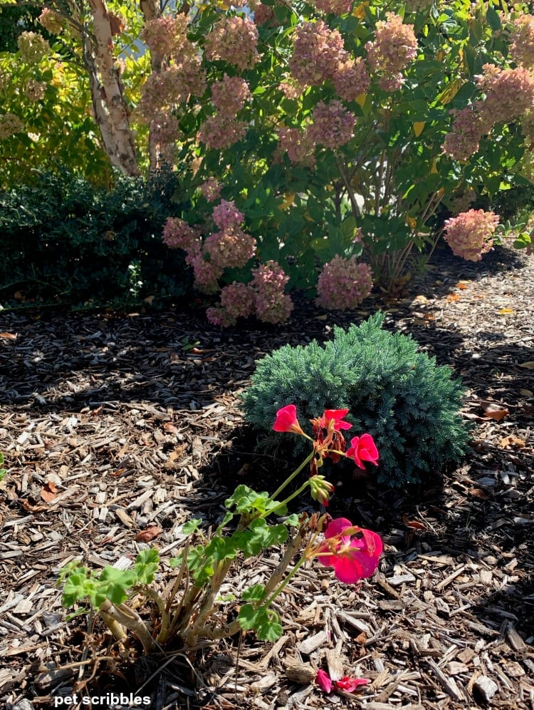 annual geranium in Fall