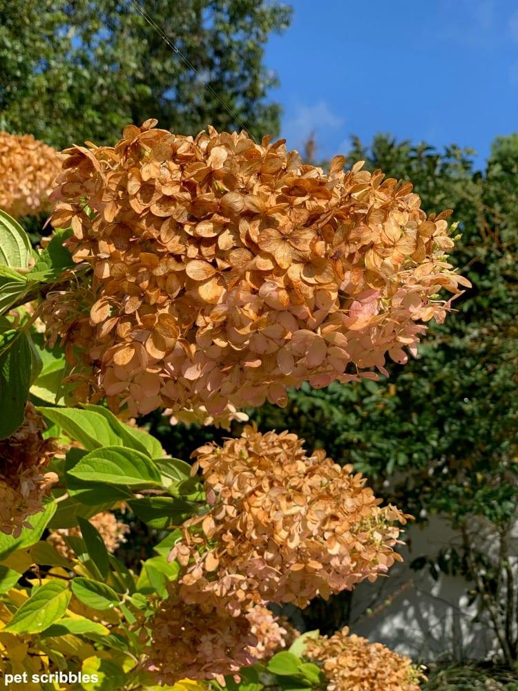dried limelight hydrangea flowers