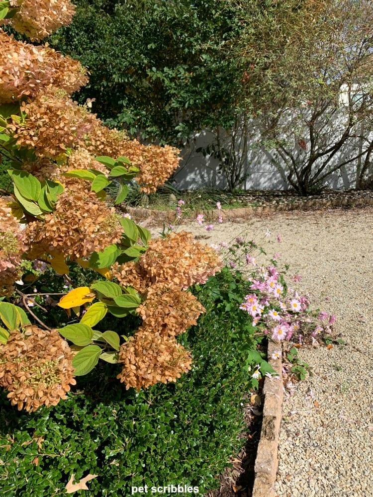 fading flowers on a Limelight Hydrangea Tree
