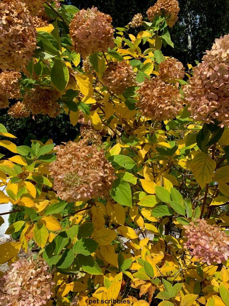 limelight hydrangea Autumn color