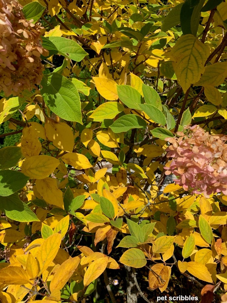 limelight hydrangea tree Fall leaf color