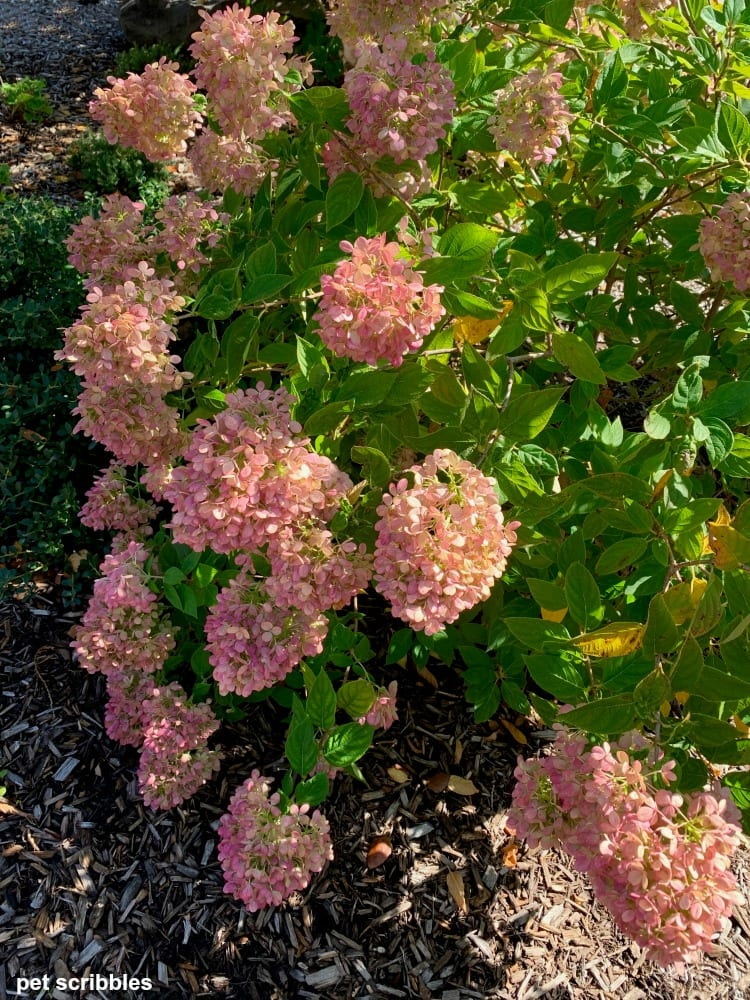 pink blooms on Little Lime Hydrangea in Fall