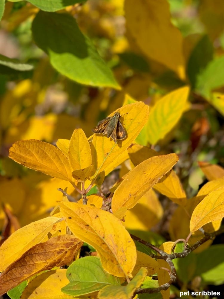 yellow and green Fall leaf color of limelight hydrangea tree