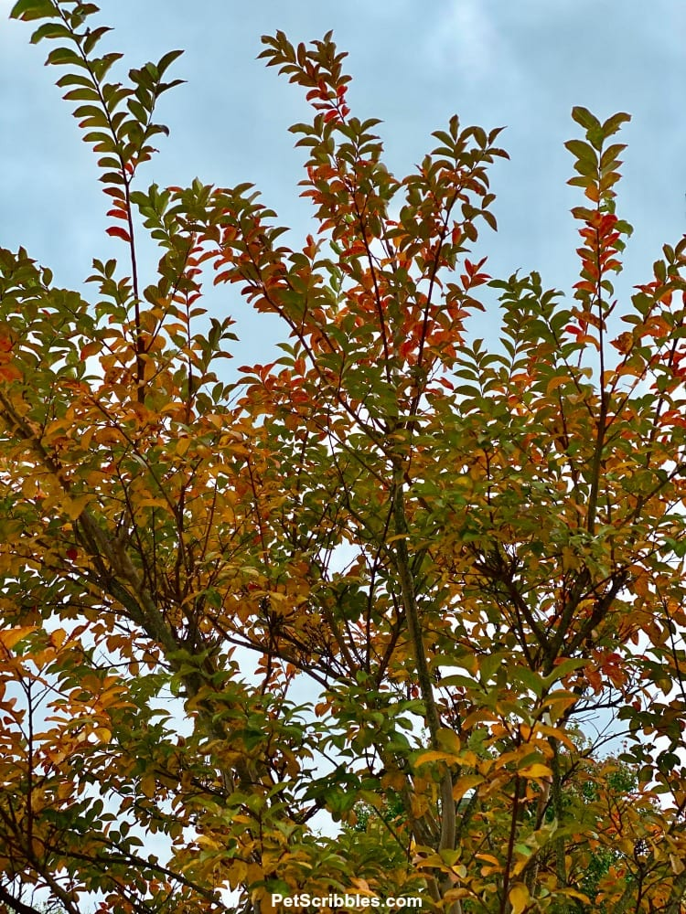 Fall Color of Muskogee Crepe Myrtle Tree