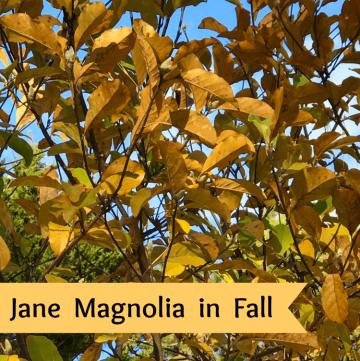 Jane Magnolia tree in Fall