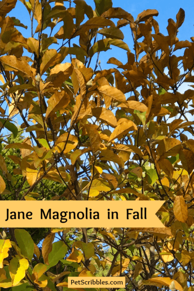 Jane Magnolia tree in Fall
