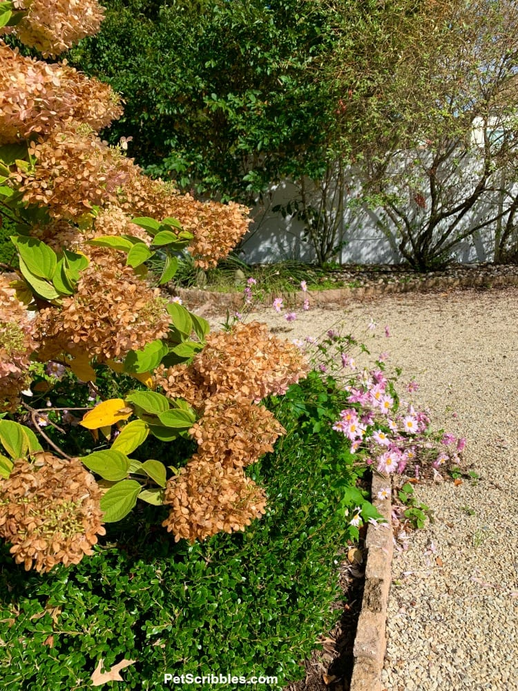 Limelight Hydrangea Tree dried blossoms on tree