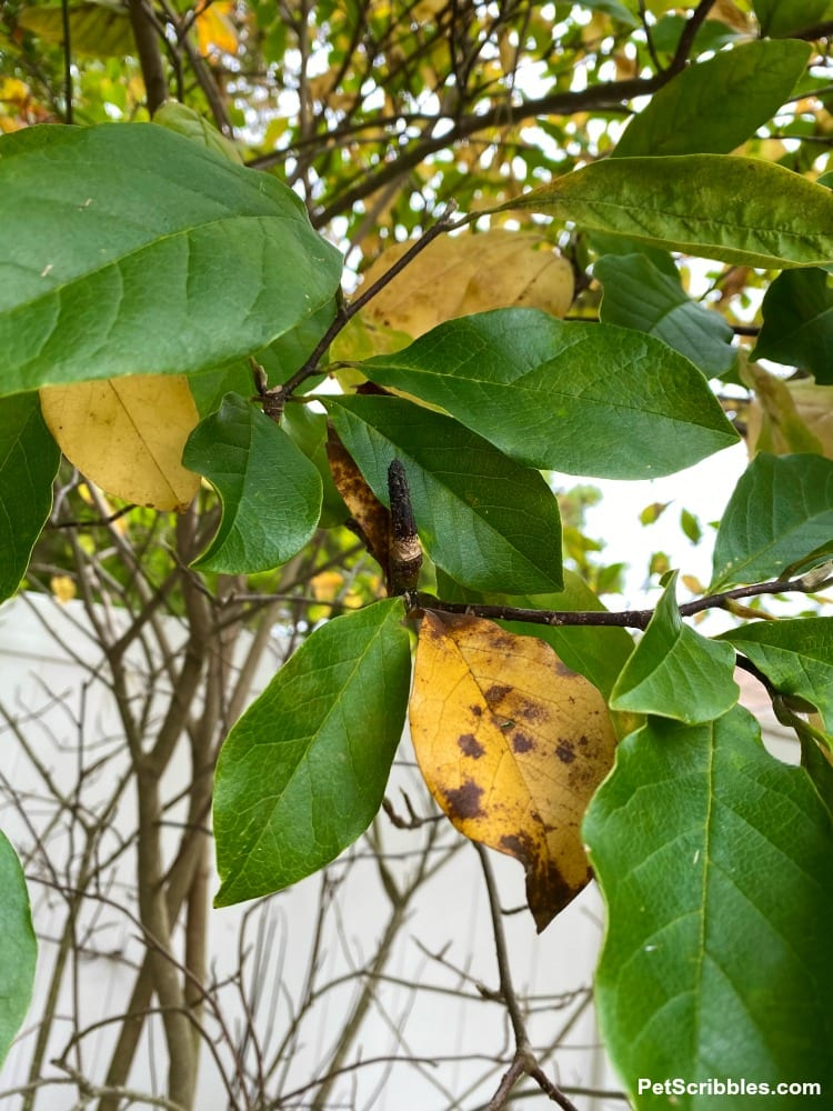 Magnolia Jane green and yellow leaves in Fall