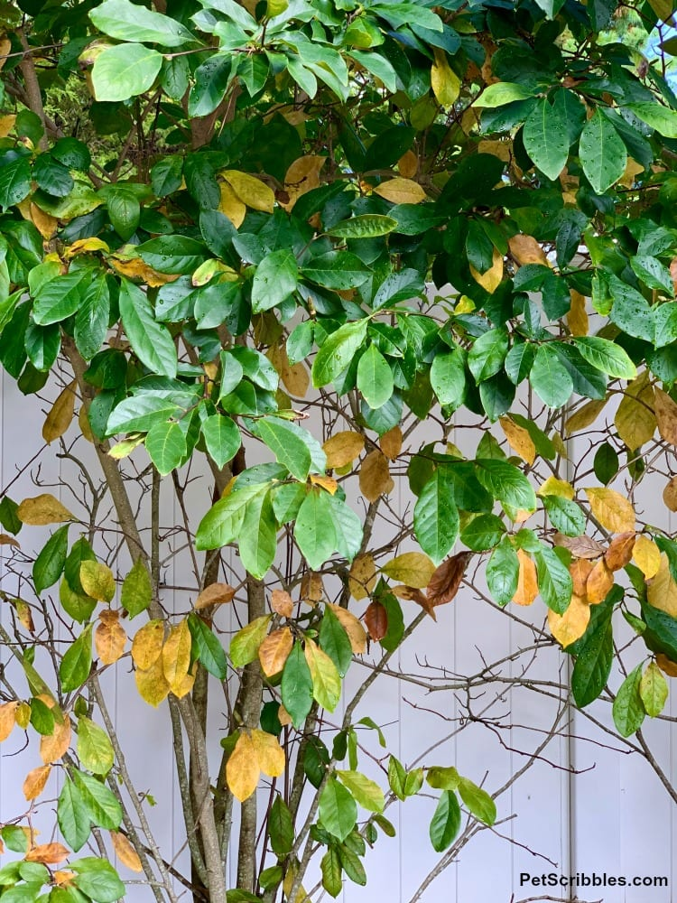 Magnolia Jane tree in Fall with green and yellow leaves