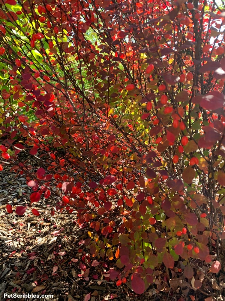 Orange Rocket Barberry Fall Color