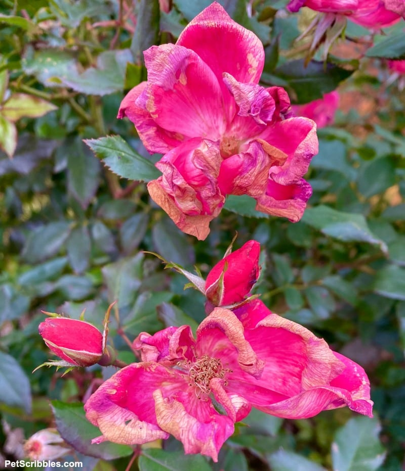 fading roses in Fall at the end of the growing season