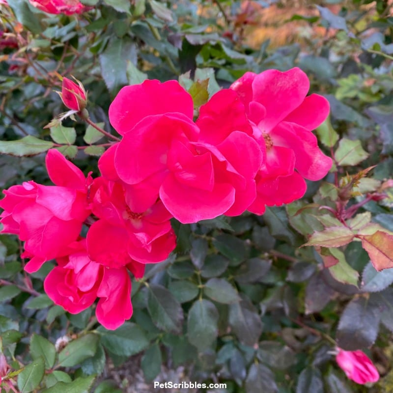 fuchsia roses in bloom