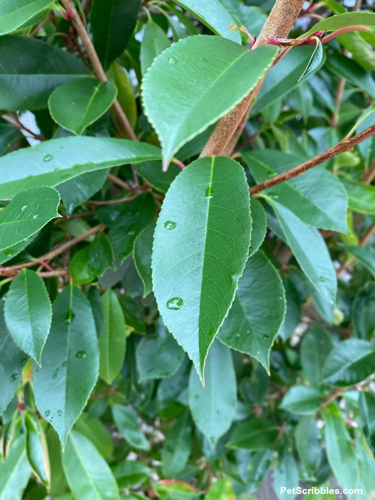 raindrops on green leaves of Red Tip Photinia