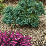 Why you want Blue Star Juniper in your garden