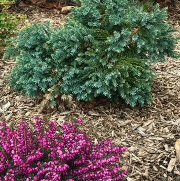 blue star juniper evergreen shrub