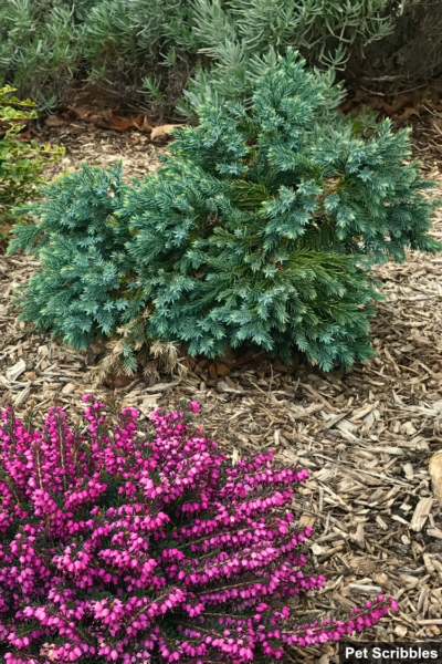 blue star juniper evergreen shrub