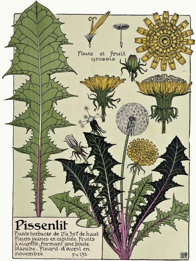 vintage graphic of Dandelion plant