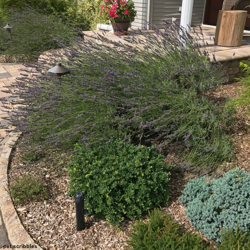 Lavender Phenomenal in bloom, with Blue Star Juniper in lower right
