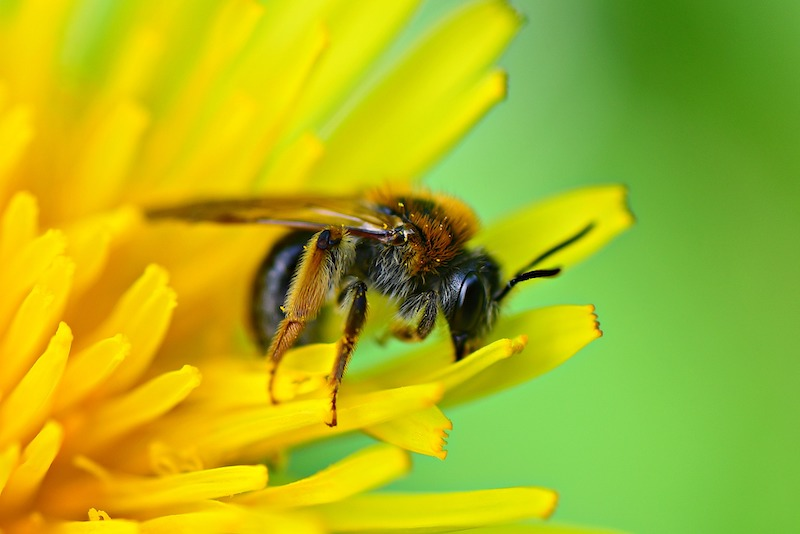bee on a dandelion flower