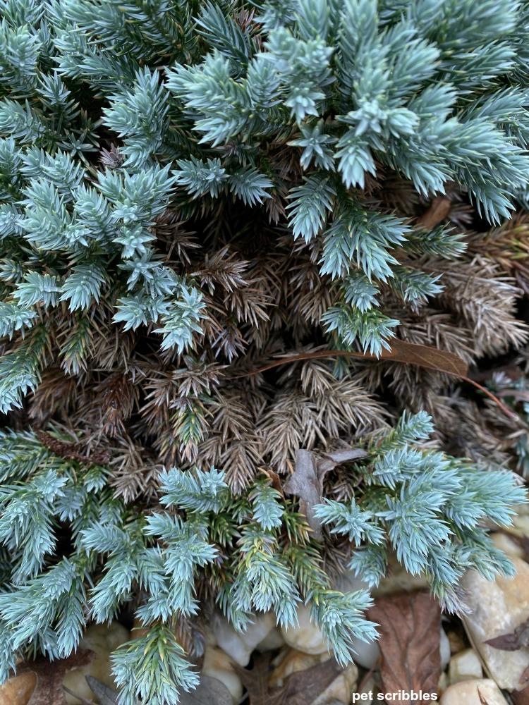 brown growth on blue star juniper