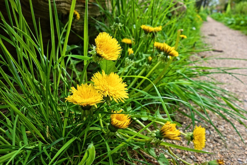 dandelions growing at the edge of a garden path