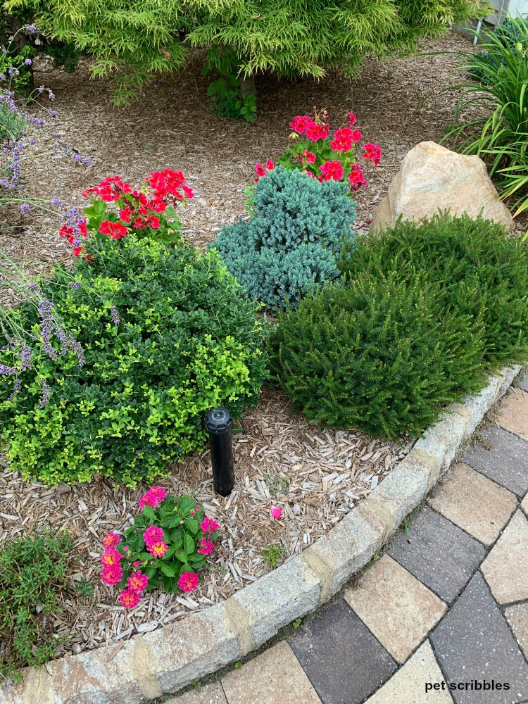 dwarf evergreen shrubs in Summer garden with geraniums