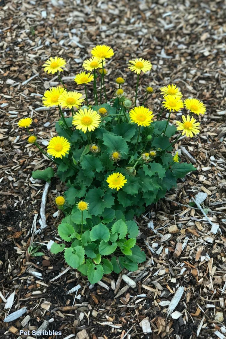 Dorinocum Leopard's Bane yellow daily-like flowers in bloom