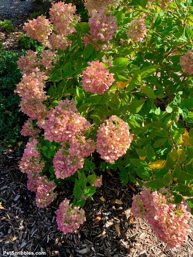 Fall medium pink color of Little Lime hydrangeas