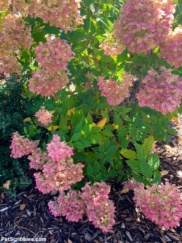 medium pink Fall flower color of Little Lime hydrangeas