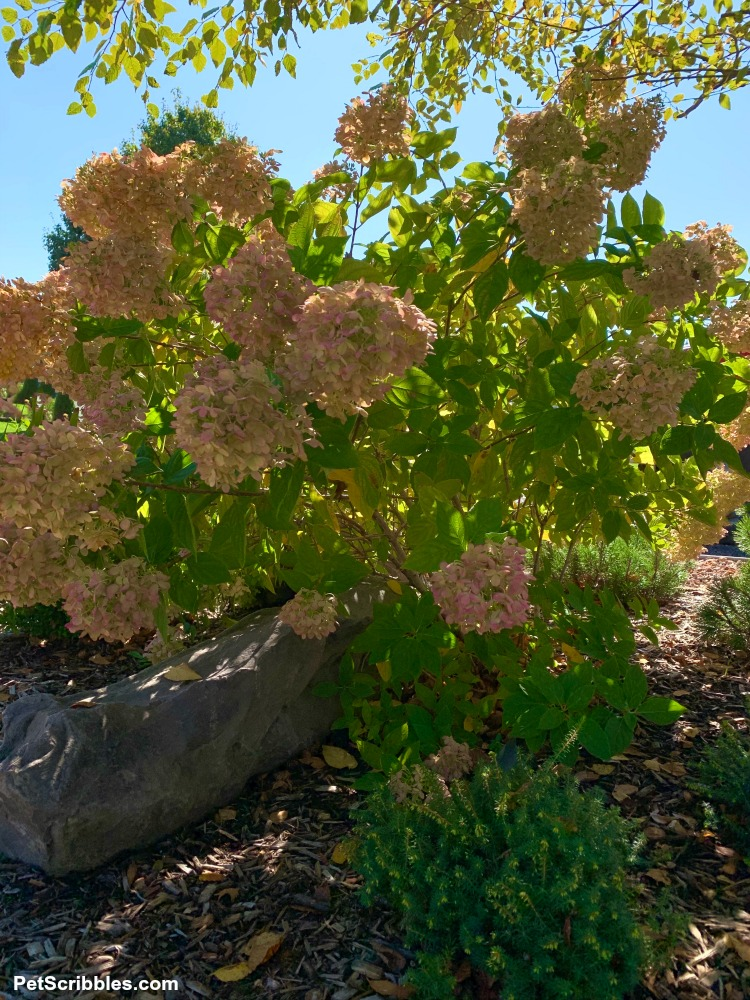 Fall hydrangeas against blue sky
