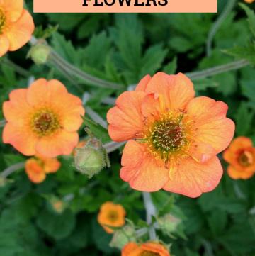 Geum Perennial Flowers for your Garden