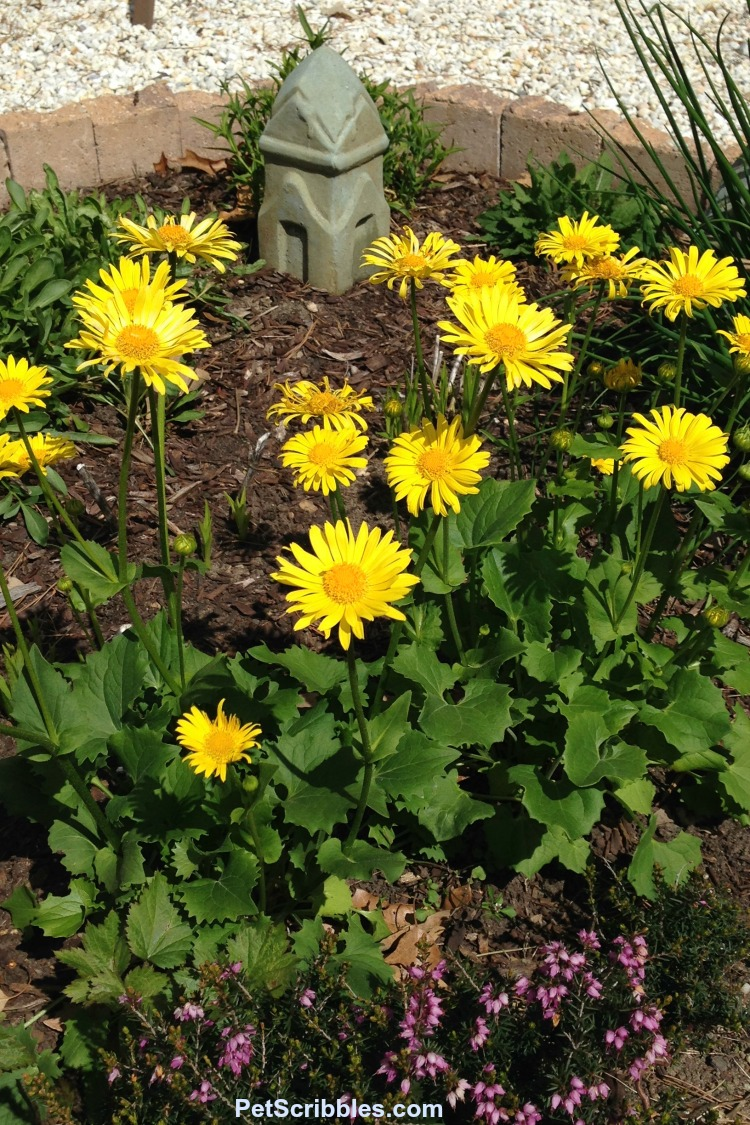 yellow daisy-like flowers of Leopard's Bane