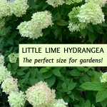 Little Lime Hydrangea — Your Ultimate Guide