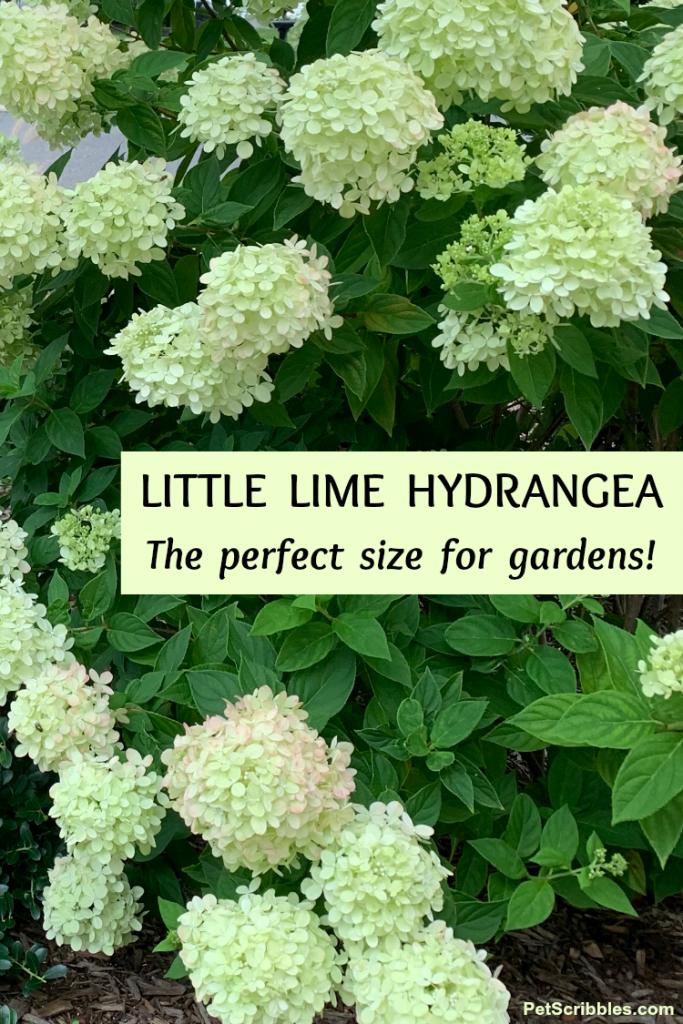 Little Lime Hydrangea Care