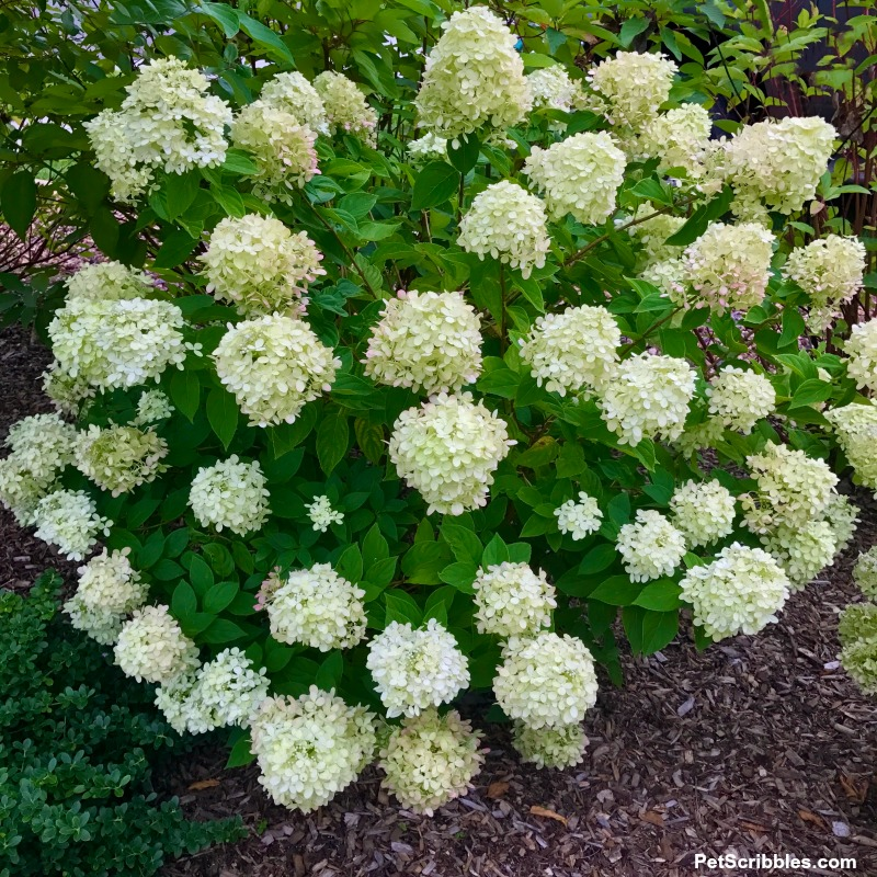Little Lime Hydrangea in full bloom