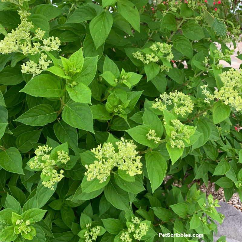 Little Lime Hydrangea shrub in Spring
