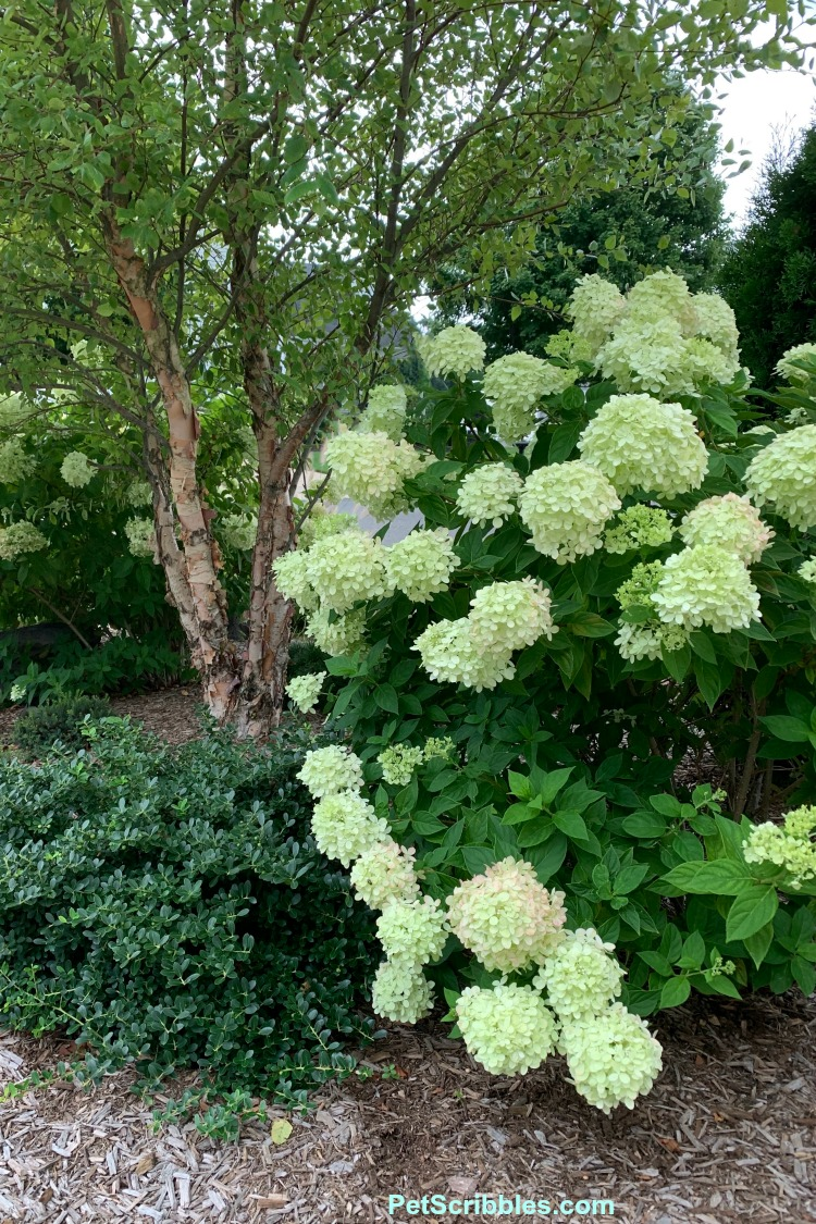 Little Lime hydrangea flowering shrub