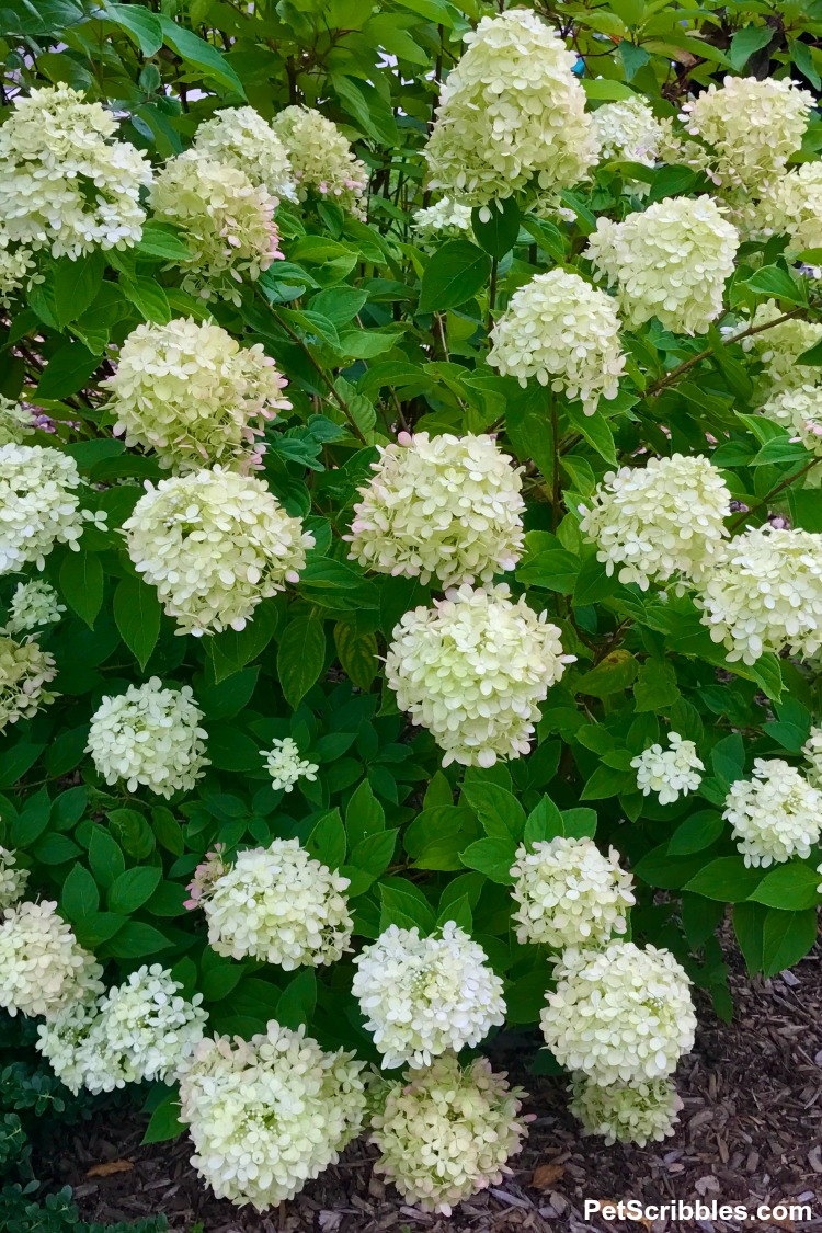 Little Lime hydrangea flowers