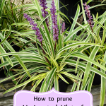 How to prune Variegated Lilyturf (Liriope Muscari)