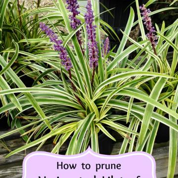 how to prune liriope muscari
