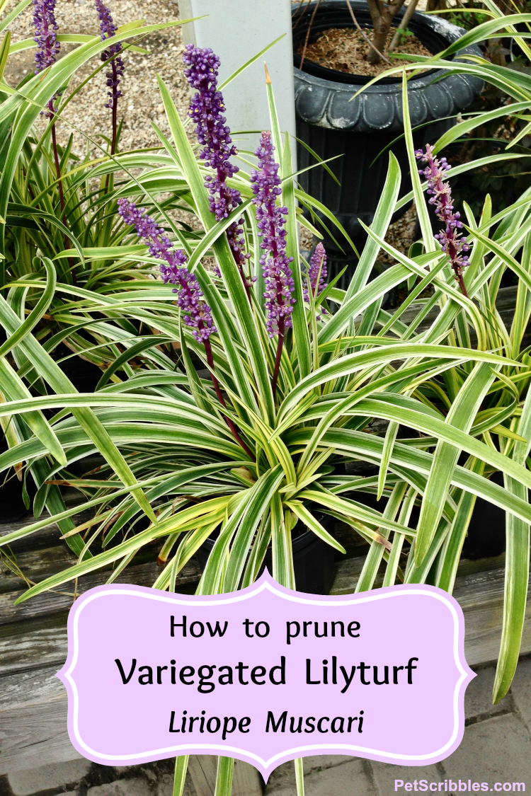 how to prune liriope muscari