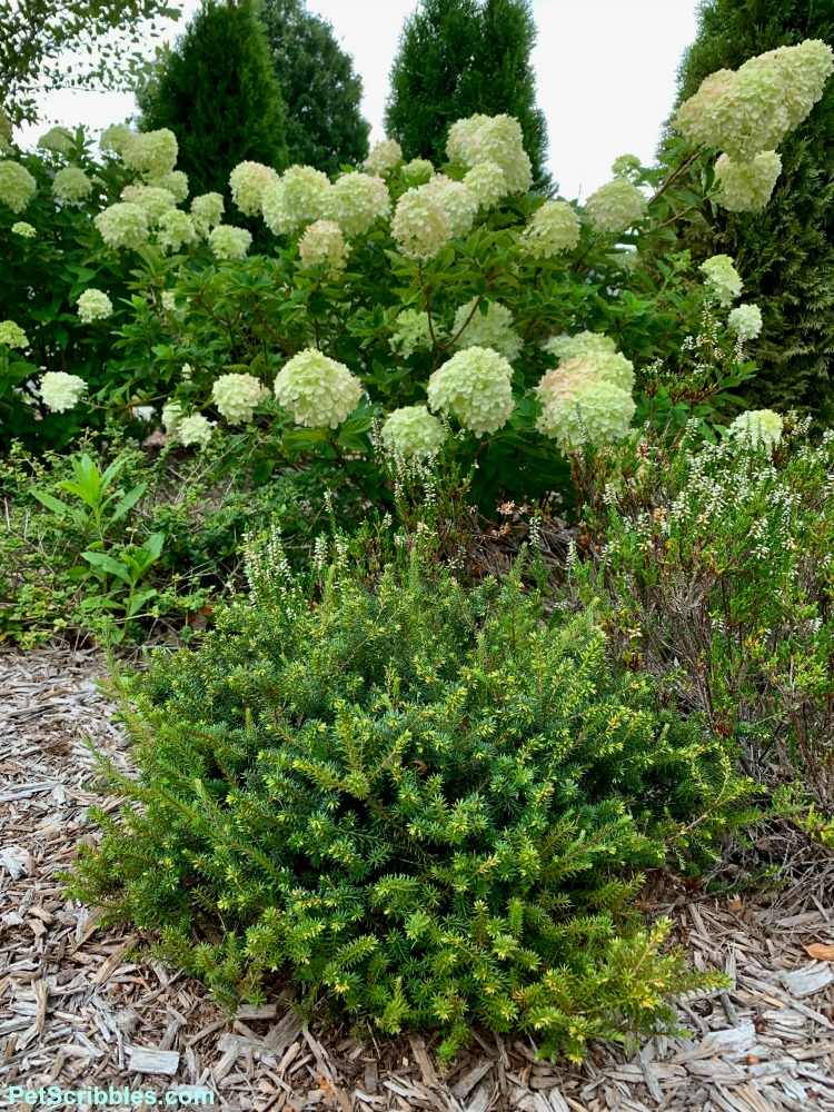 an evergreen heath in front of Little Lime hydrangea