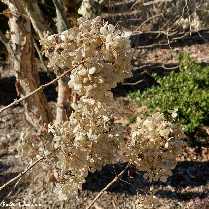 dried Little Lime hydrangea flowers are cream and tan