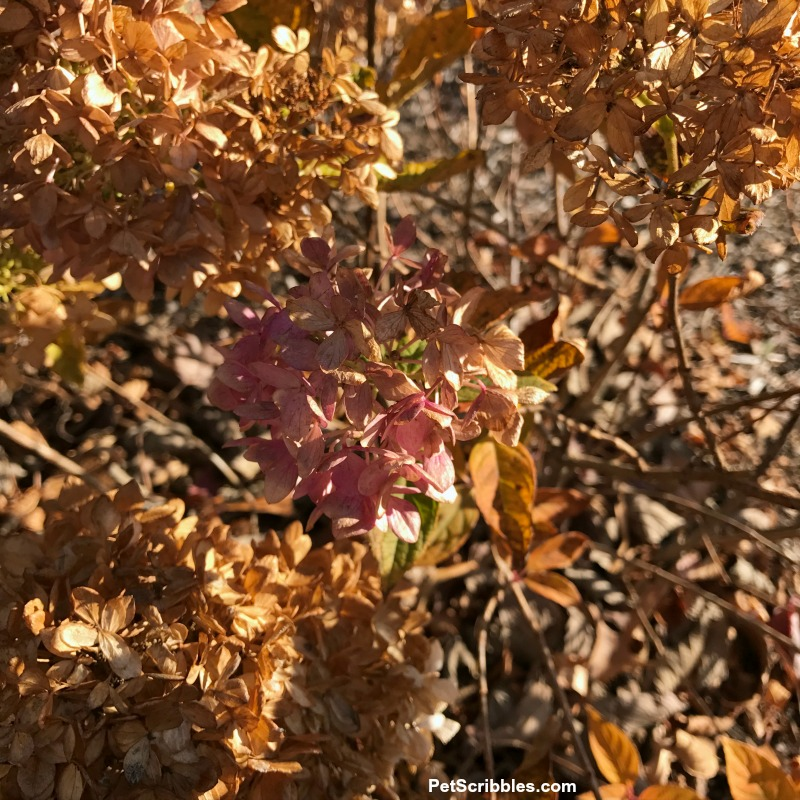 dried hydrangea flowers on shrub