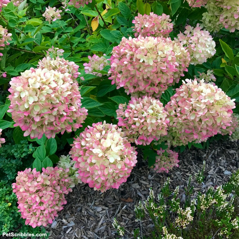 flower heads of Little Lime hydrangea turning pink