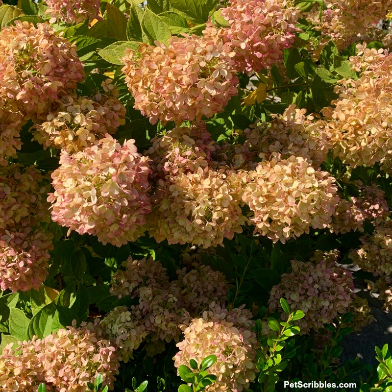 hydrangea flower heads drying on shrub in Fall
