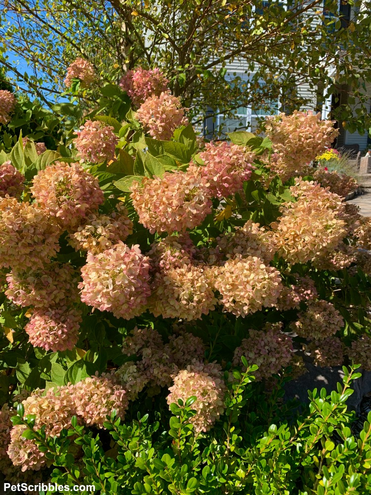 fading color of hydrangea panicles in the Fall